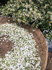Flowers were everywhere, ready for perfume making